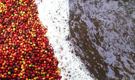 การแปรรูปเมล็ดกาแฟ (Coffee Processing)
